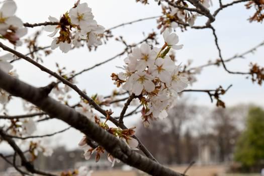 Almond Tree Branch Free Photo