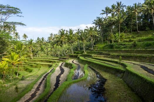 Rice Starches Grain #262396