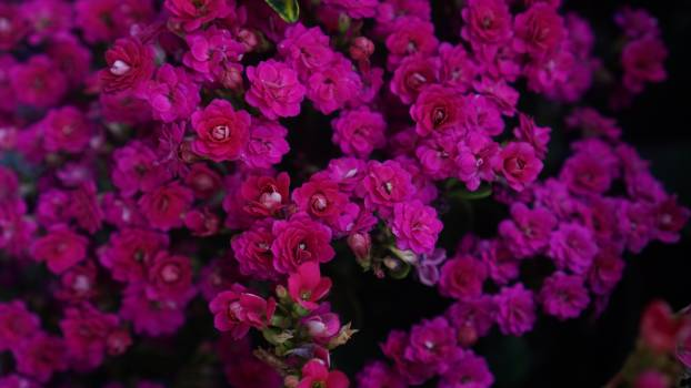 Lilac Pink Flower #263000