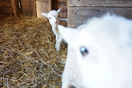 Lambkin Lamb Young mammal Free Photo