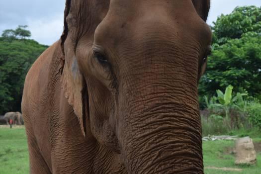 Elephant Mammal African elephant #263147