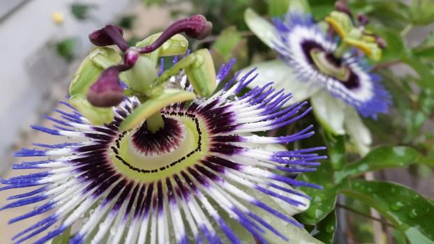 Flower Kiwi Vine Free Photo