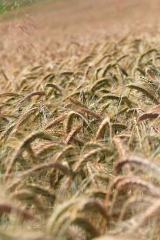 Wheat Field Crop #263358