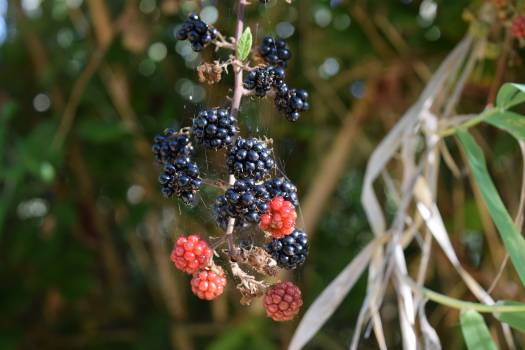 Berry Holly Fruit #263378