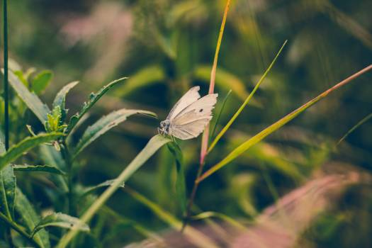White Butterfly Free Photo