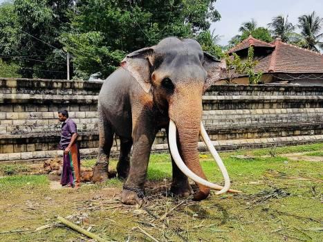 Elephant Mammal Tusk Elephant  Free Photo