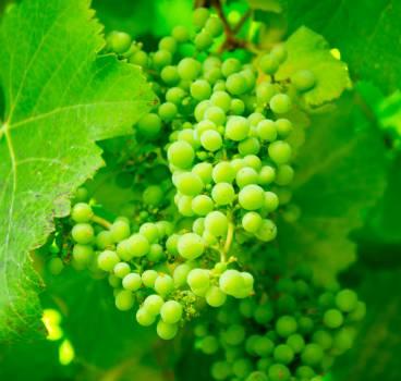 Grapes #26420