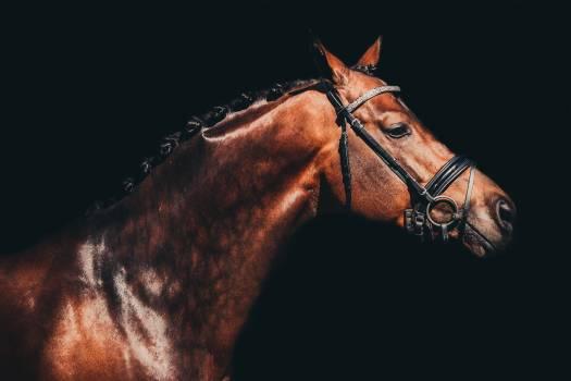 Thoroughbred Horse Bridle Free Photo
