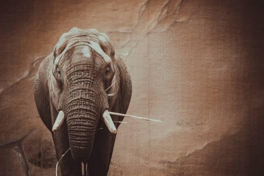 Elephant Mammal Wildlife Free Photo