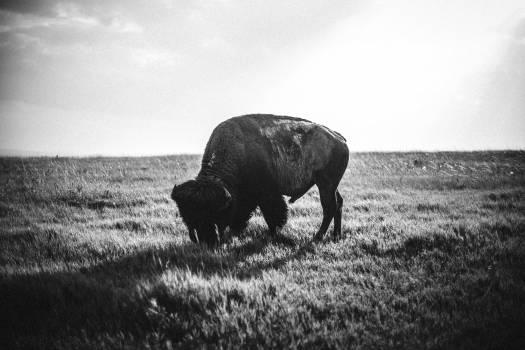 Bison Free Photo