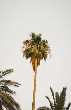 Tree Palm Tropical Free Photo