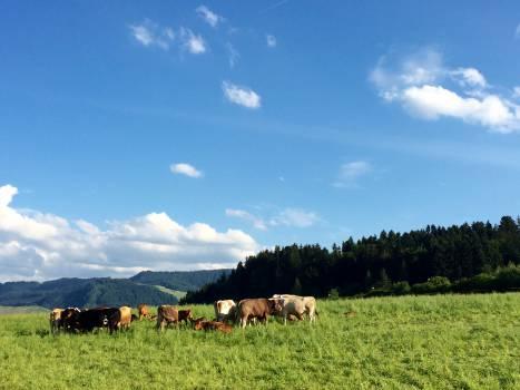 Cows #26537