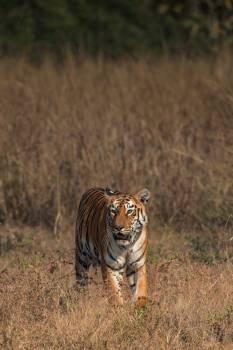 Tiger Feline Predator Free Photo
