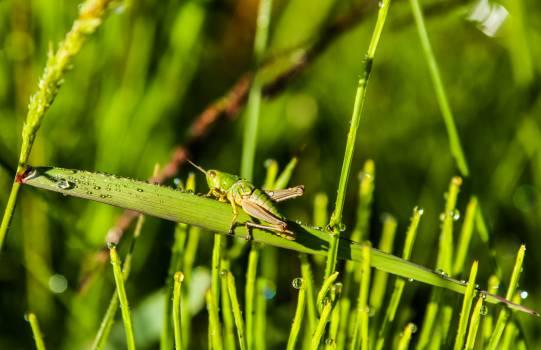 dew, green and grasshopper #26557