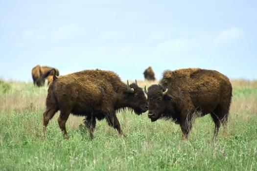 Bison Ruminant Farm Free Photo