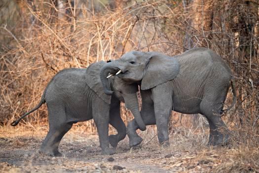Calf Elephant Mammal Free Photo