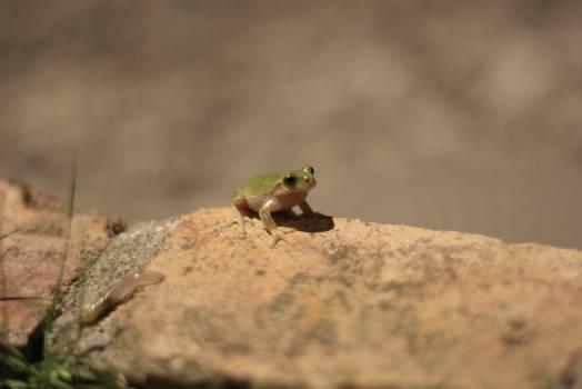 Frog Agama Agamid #26724