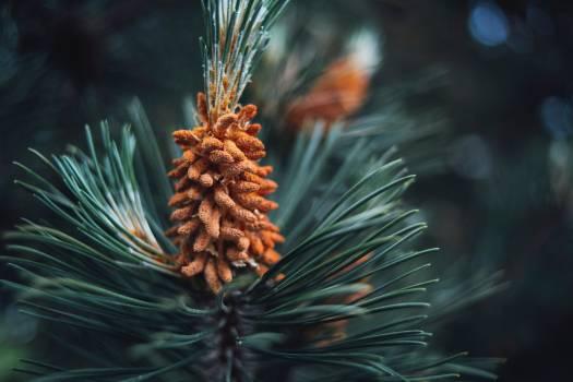 Pine Fir Evergreen Free Photo