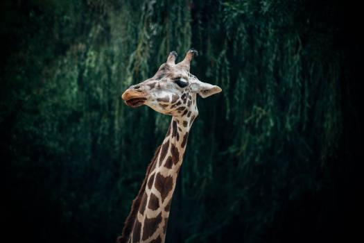 Giraffe Wildlife Animal Free Photo