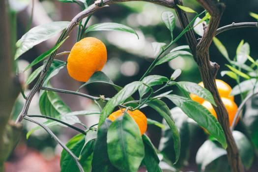 Mandarins #26759