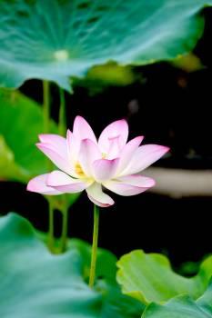 Lotus Pink Flower #267654