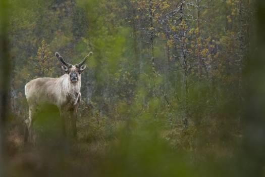 Buck Caribou Deer Free Photo
