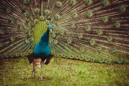 Peacock #26878