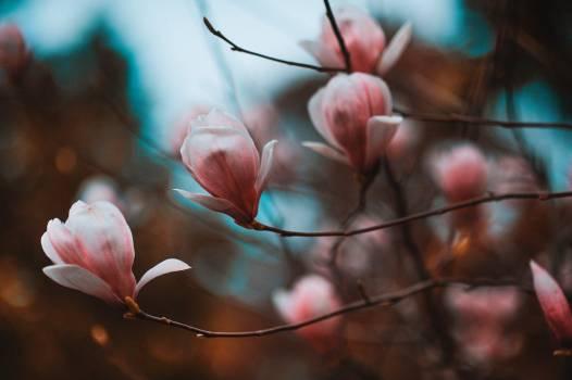 Petal Flower Magnolia Free Photo