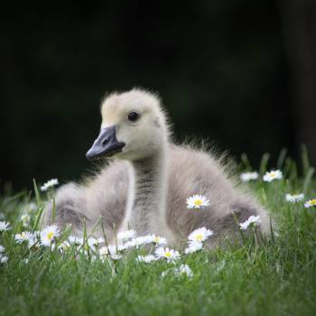 Bird Albatross Nestling #270029