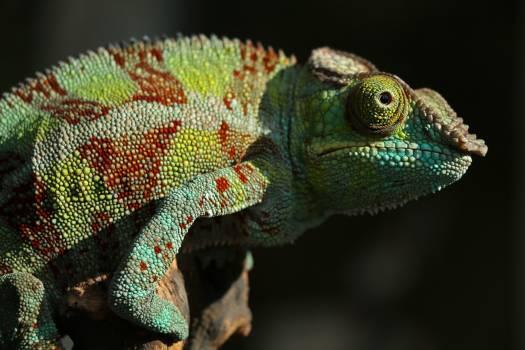 Chameleon Person Lizard Free Photo