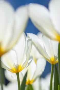 Pollen Tulip Flower Free Photo