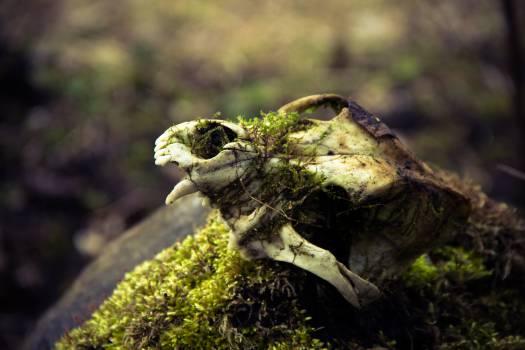 Boar skull #27054