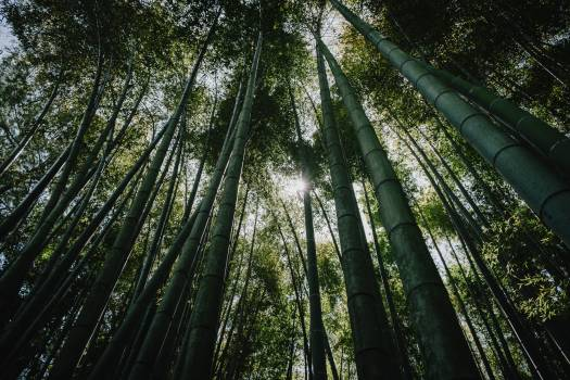 Bamboo Forest Tree Free Photo