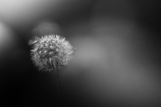 Dandelion Herb Plant #271383