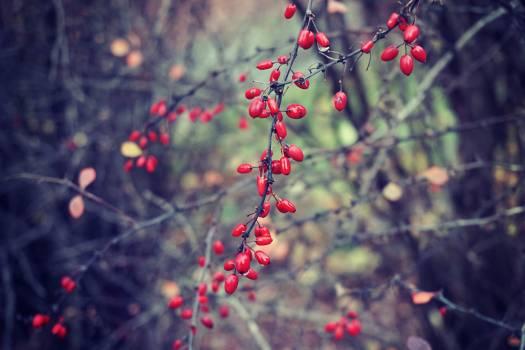 Fruit Bush Holly #27293