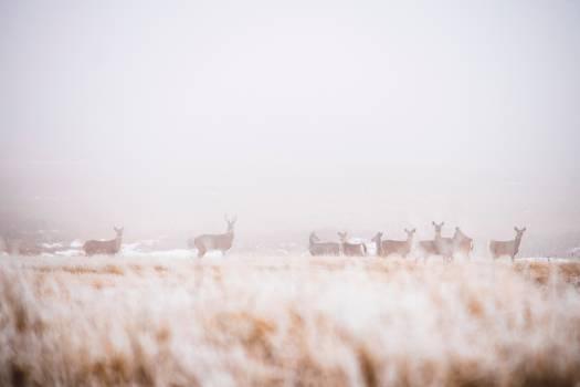 Caribou Deer Wildlife Free Photo