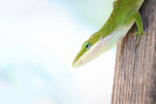 Green lizard Lizard Reptile Free Photo