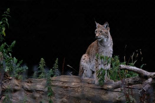 Lynx Wildcat Cat Free Photo