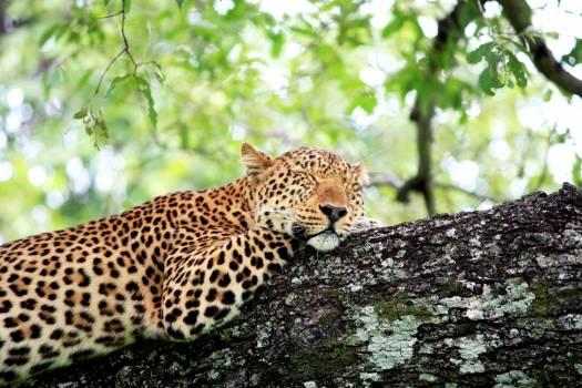 Leopard Feline Predator #281133