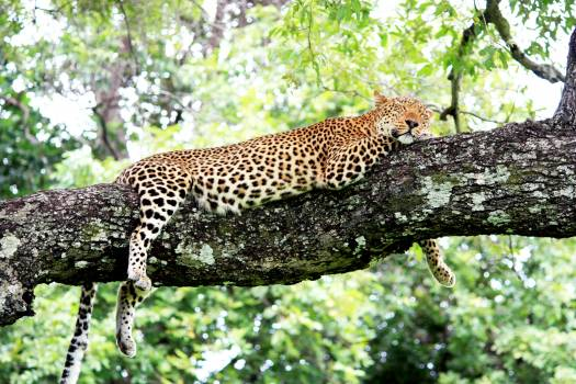 Leopard Fur Feline #281310