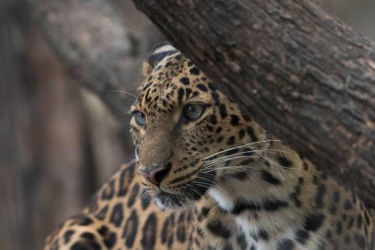 Leopard Fur Feline #281547