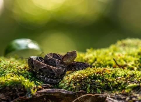 Diamondback Rattlesnake Pit viper #281749