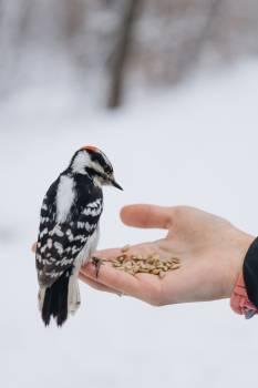Woodpecker Bird Vertebrate Free Photo