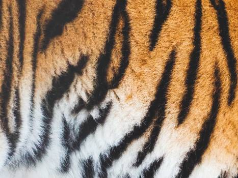 Tiger Feline Cat Free Photo