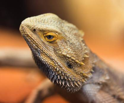 Frilled lizard Lizard Chameleon Free Photo