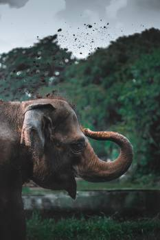 Elephant Mammal Tusker Free Photo