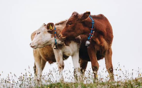 Cow Calf Cattle Free Photo