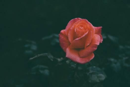Rose Bud Flower Free Photo