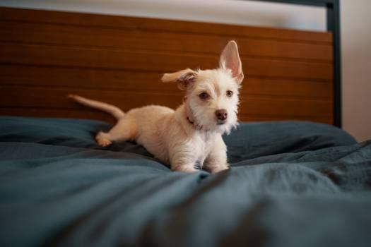 West highland white terrier Dog Terrier #285698