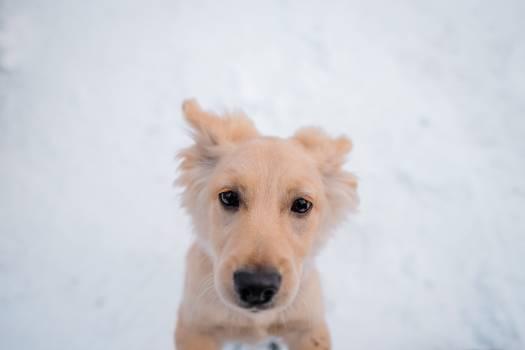 Retriever Dog Golden retriever Free Photo